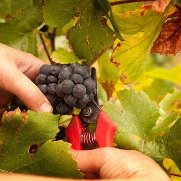 Uvas da vinícola Domaine Weinbach